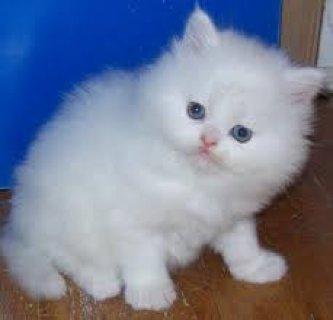 beautiful all white teacup Persian kittes