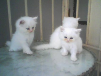 Beautiful Persian cats available