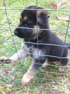 Top Quality German shepherd German Shepherd for Adoption