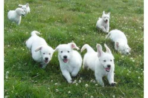 Adorable male and female labrador puppies avialable