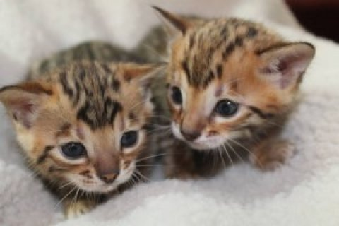 Adorable Bengal kittens For Xmas