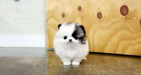 Attractive Male and female pomeranian  puppies for good home