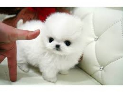 Super Cute Tiny Tea Cup Male and Female  Pomeranian Puppies  Ava