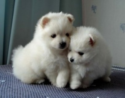 Two lovely pom puppies for xmas gift