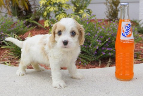 صور Cavachon Designer Breed Male and Female Pups! (Cavalier and Bich 1