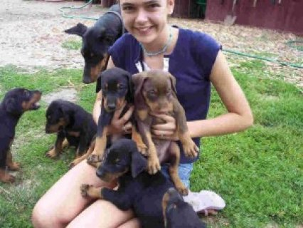 Beautiful Doberman Pinscher Pups For Xmas