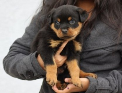 cute AKC Registered Rottweiler Puppy for XMas - 12 Weeks Old