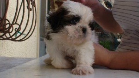 Cute Shih Tzu Puppies Available Now For Xmas