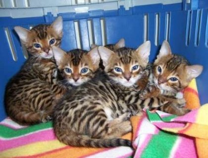 cute adorable Bengal kittens are ready