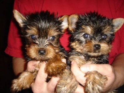 male and female pure bred Yorkshire Terriers