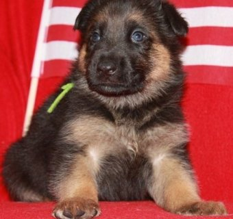 صور  German Shepherd puppies for adoption. 1