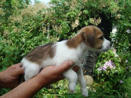 2 JACK RUSSELL PUPPIES READY NOW