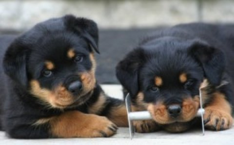 Super cute Rottweiler puppies