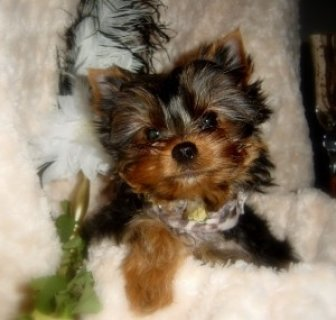 Male And Female Teacup Yorkie Puppies For Xmas