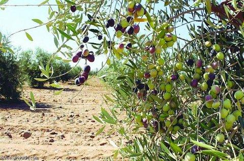 ارض مزروعه شجر زيتون مثمر للبيع في قريه جبا