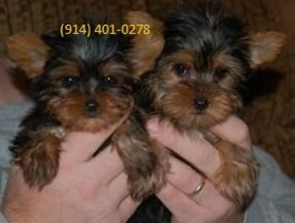 صور Yorkshire Terrier Puppies 1
