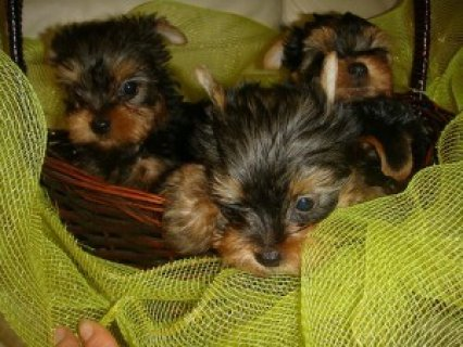 Yorkshire Terrier Puppies For Sale
