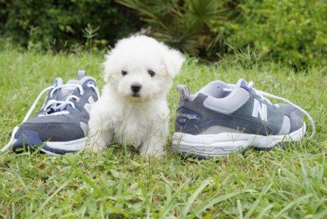 Female Bichon Frise Pup,,,,,,,,,,,,,,,,,,,,,,