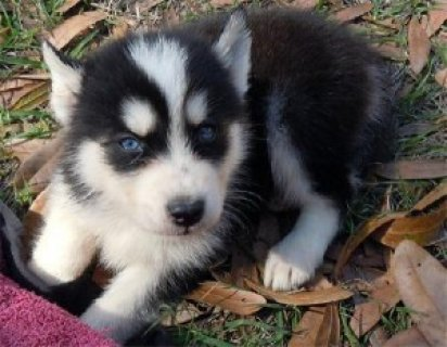 AKC Siberian Huskies puppies available