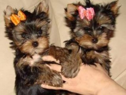 Healthy Home Trained T-Cup Yorkie pups for adoption.