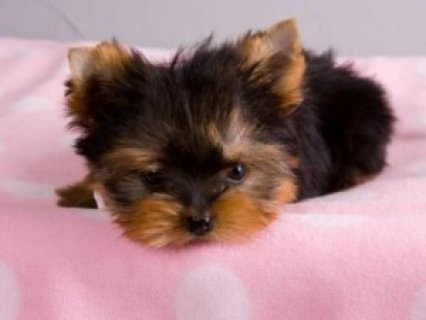 Gorgeous Tiny Yorkie Puppies For Sale