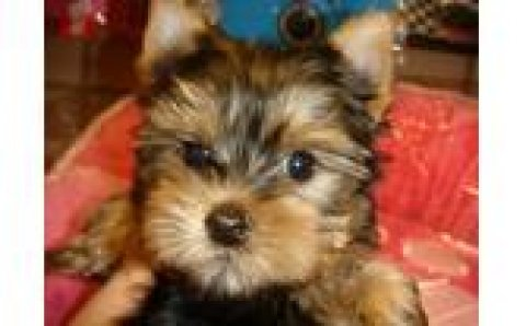 Healthy yorkshire terrier Puppies for adoption