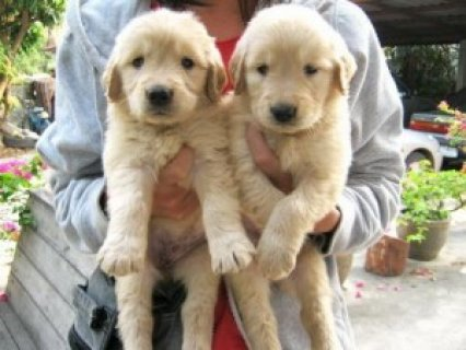 Wonderful Labrador Retriever Pups for Sale