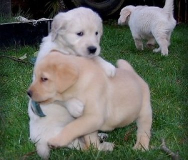 Quality Labrador Retriever Puppies.