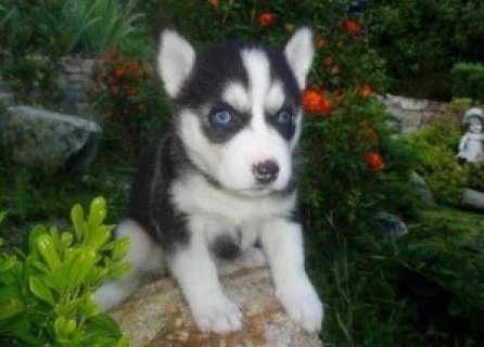 صور Female and Male Siberian Husky Puppies for Sale 1