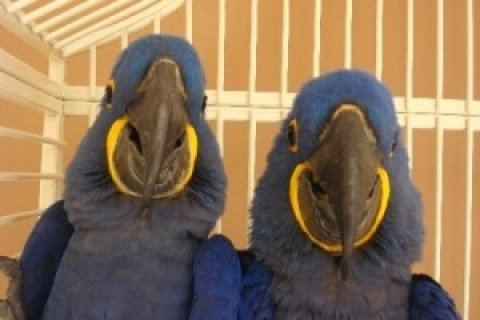 Trained and Tamed Hyacinth macaw Parrots for free adoption....