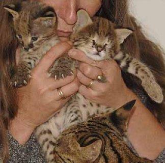 3 Savannah Kittens for Adoption