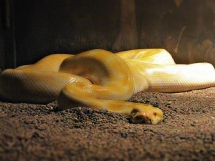 صور Albino Python ball snakes for sale. 1