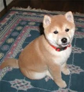 Shiba Inu Puppies now Available
