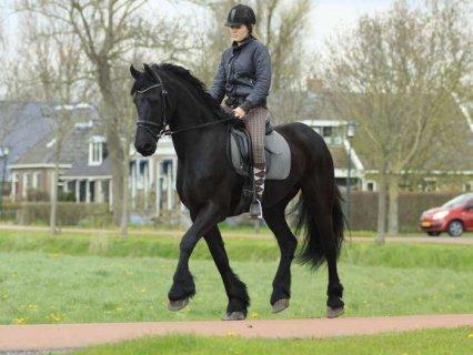 Beautiful Friesian Horses For sale