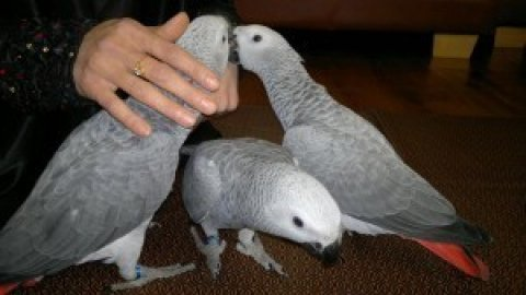 Cute male and female African Grey for Sale