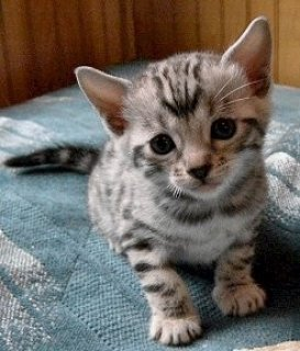 Bengal Kittens for Sale111