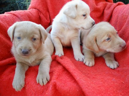 صور Well Trained Labrador Retriever Puppies for adoption 1