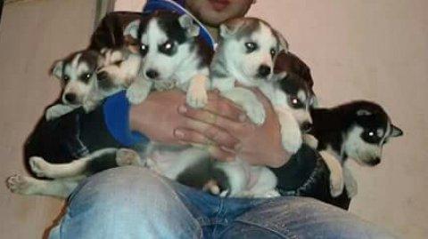 كلاب هاسكي ( جراوى) للبيع السعر 150 دينار اردني
