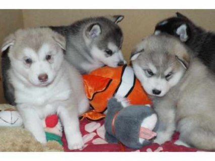 صور Cute Siberian Husky puppies 1
