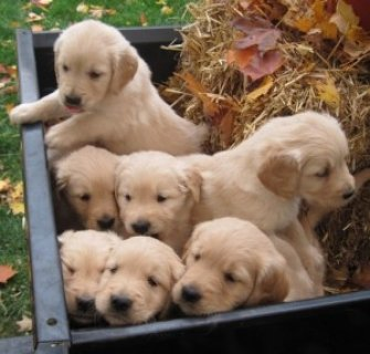 Cute Golden Retriever Pups Ready For New Homes Today