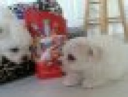 super cute male and female Maltese for adoption,.