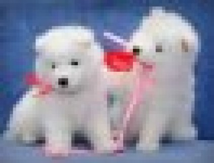 Samoyed puppies for good homes,.