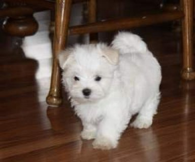 Pedigree Teacup Maltese Puppies Available..