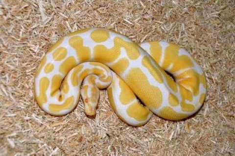 albino and piebald ball pythons for adoption