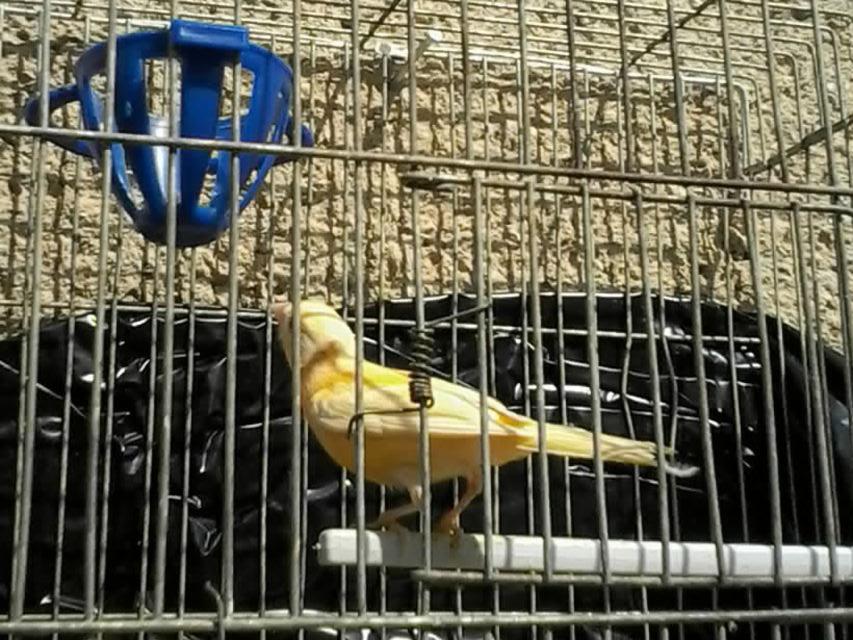 مجموعة طيور كنار للبيع