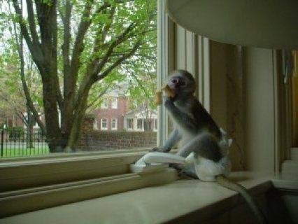 ***Beautiful boy and girl baby Capuchin Monkeys for Adoption