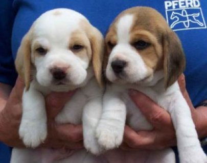 Good looking male and female Beagle puppies for sale