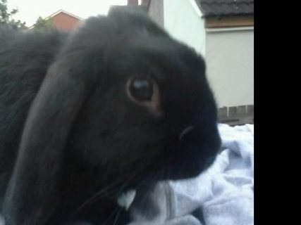 Lop rabbit free for adorption