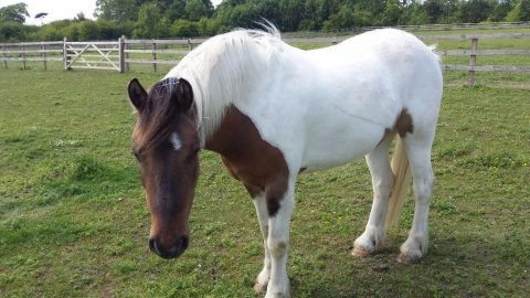 Skewbald Gelding -8 Years Old good for adoption
