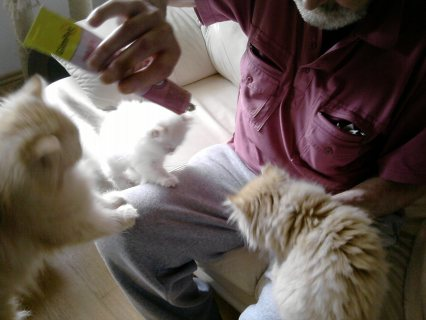 Cute Persian Kittens for free adoption